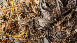 04_BCbud-Cannabis-Photography-Lindsay+Emerald-Cookie+Nuken
