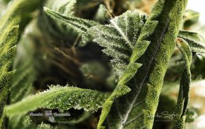 06_Cannabis-Product-Photography-Vancouver-BC-lindsey-4