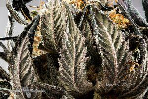 07_Cannabis-in-Canada-Photography-Lindsay-003