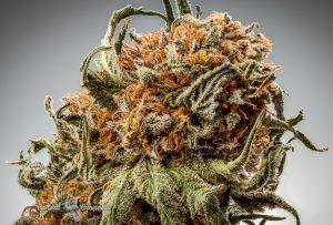 09_Finest-Professional-Cannabis-Nuke-002