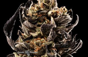 10_Cannabis-Photographer-Canada-Lindsay-009