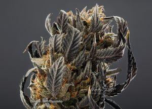 12_Commercial-Cannabis-Photographer-Lindsay-007