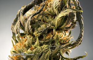 13_Custom-Cannabis-Branding-Marty-Lin-002