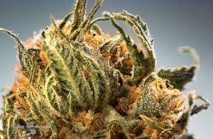 16_Professional-Cannabis-Photographer-Nuken-closeup-002