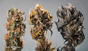 17_Cannabis-BCbud-Nuken+Emerald-Cookie+Lindsay