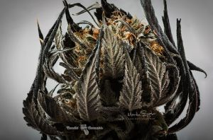 01_Professional-marijuana-photography-Lindsay-005